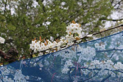 大分県日田市 梨農園 ひた鳥居原農園 梨の花