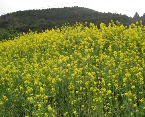 春の時代 菜の花